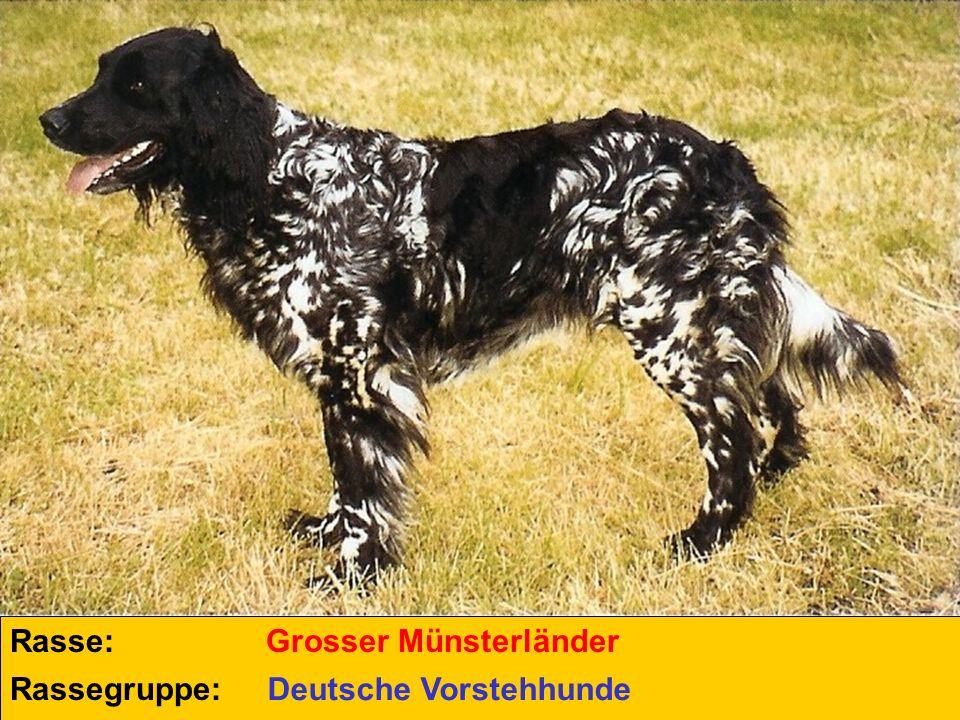 Rasse: Rassegruppe: Grosser Münsterländer Deutsche Vorstehhunde