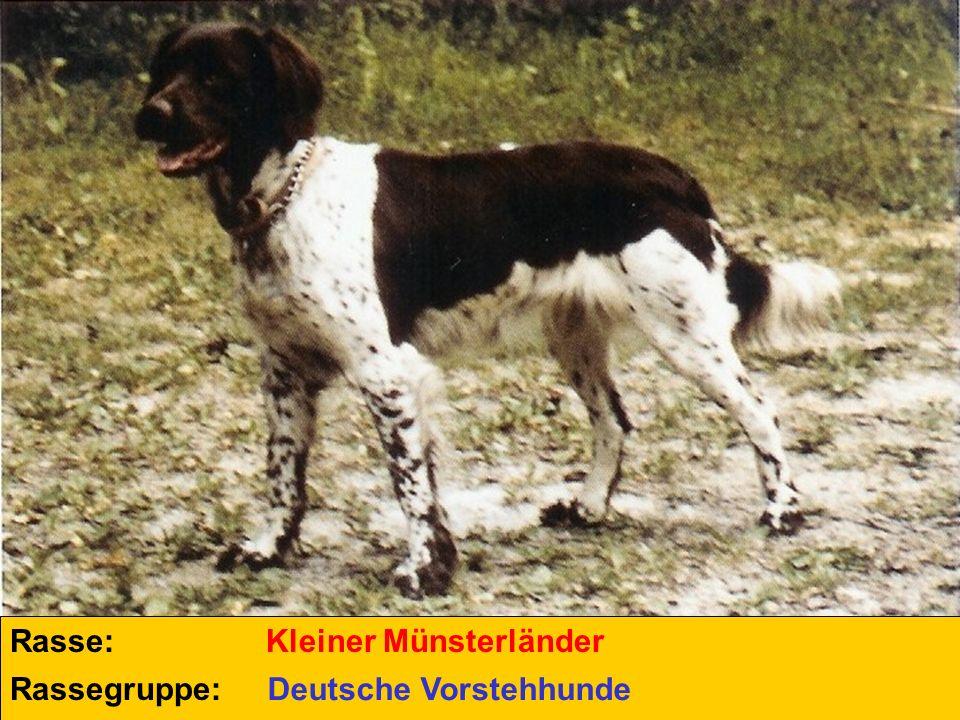 Rasse: Rassegruppe: Kleiner Münsterländer Deutsche Vorstehhunde