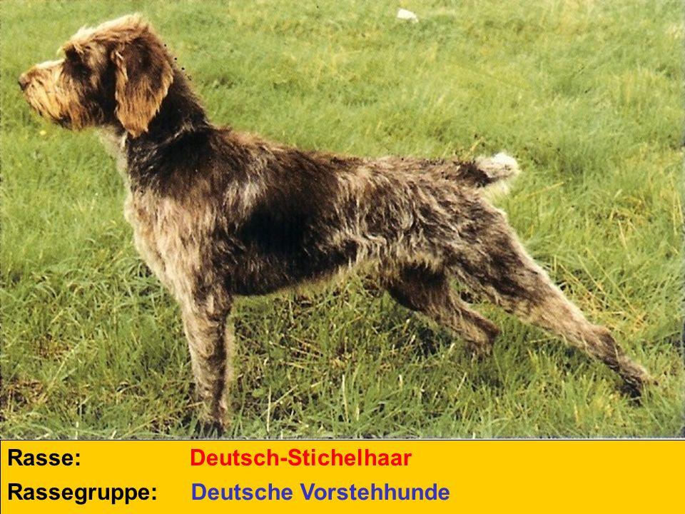 Rasse: Rassegruppe: Deutsch-Stichelhaar Deutsche Vorstehhunde