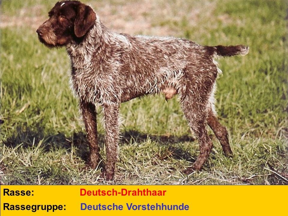 Rasse: Rassegruppe: Deutsch-Drahthaar Deutsche Vorstehhunde
