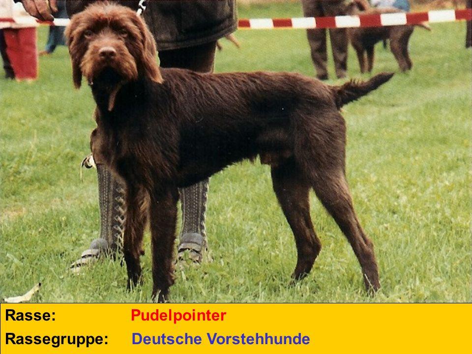 Rasse: Rassegruppe: Pudelpointer Deutsche Vorstehhunde