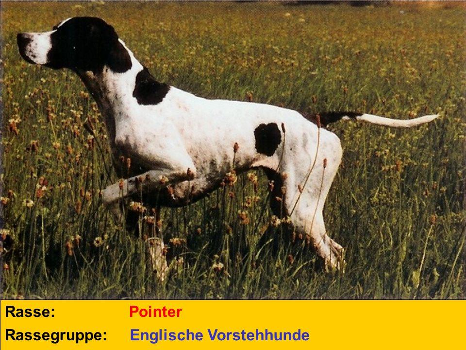 Rasse: Rassegruppe: Pointer Englische Vorstehhunde
