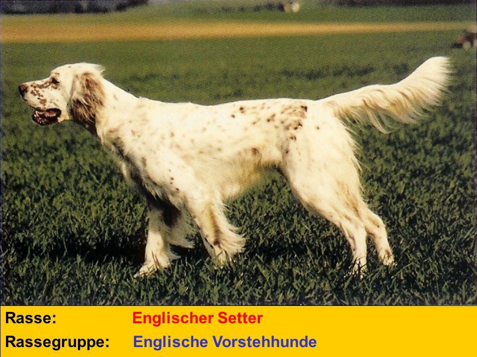 Rasse: Rassegruppe: Englischer Setter Englische Vorstehhunde