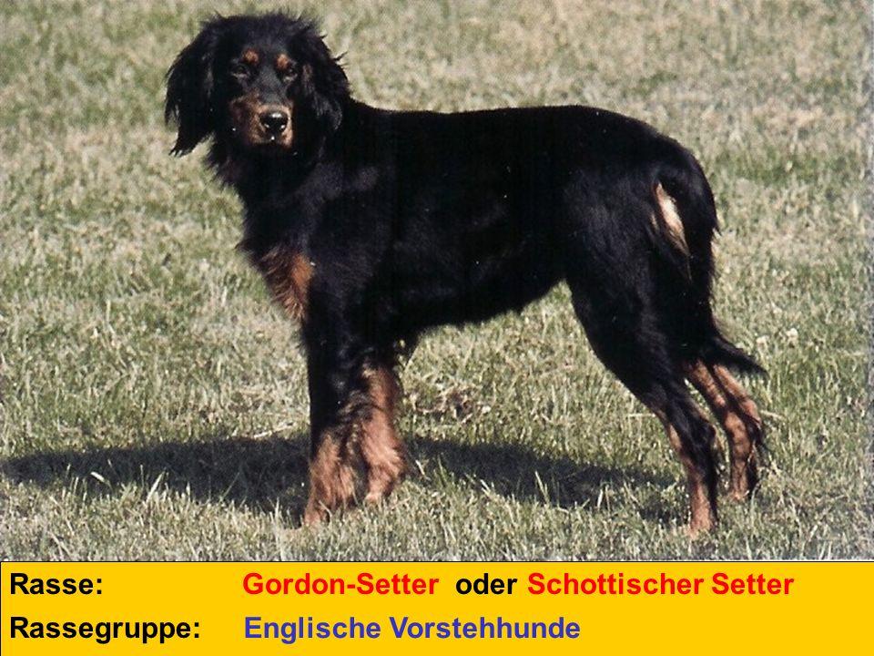 Rasse: Rassegruppe: Gordon-Setter oder Schottischer Setter Englische Vorstehhunde