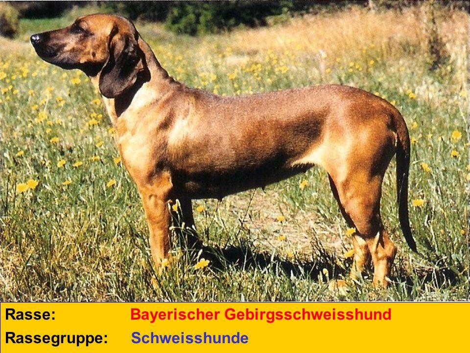 Rasse: Rassegruppe: Luzerner Laufhund Schweizer Laufhunde