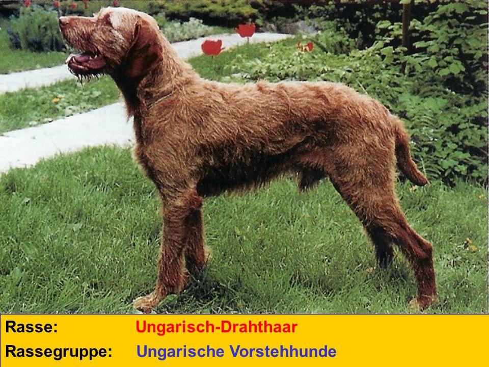 Rasse: Rassegruppe: Ungarisch-Drahthaar Ungarische Vorstehhunde