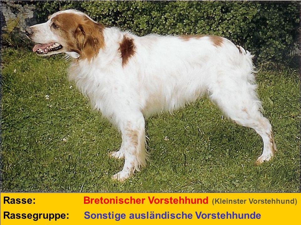 Rasse: Rassegruppe: Bretonischer Vorstehhund (Kleinster Vorstehhund) Sonstige ausländische Vorstehhunde