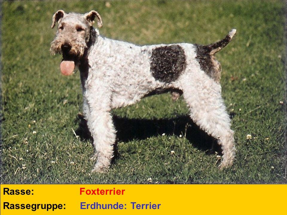 Rasse: Rassegruppe: Foxterrier Erdhunde: Terrier