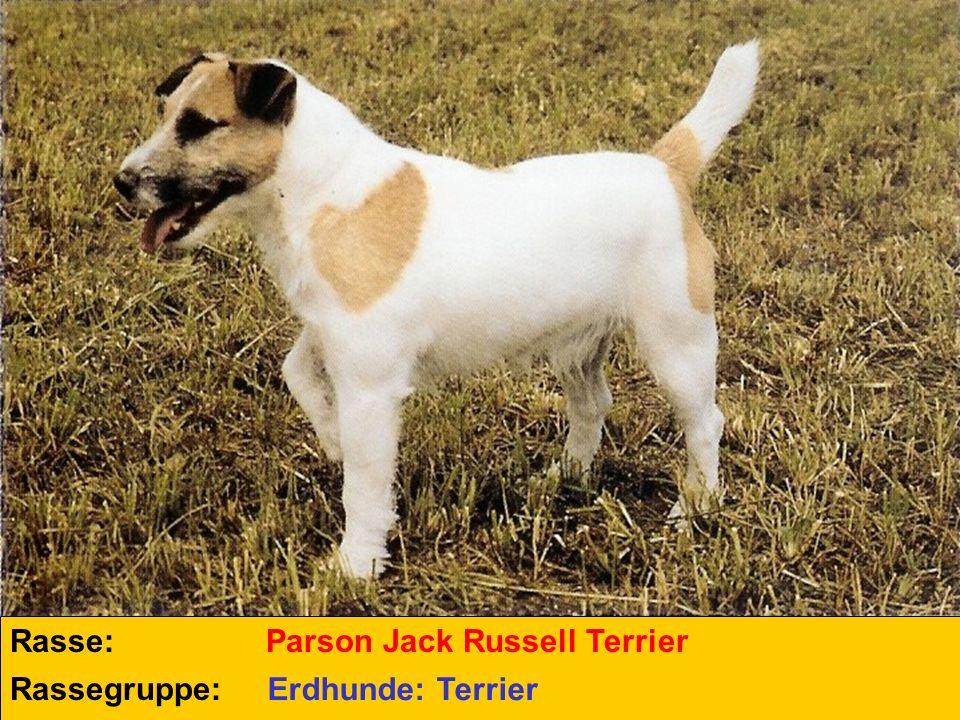 Rasse: Rassegruppe: Parson Jack Russell Terrier Erdhunde: Terrier