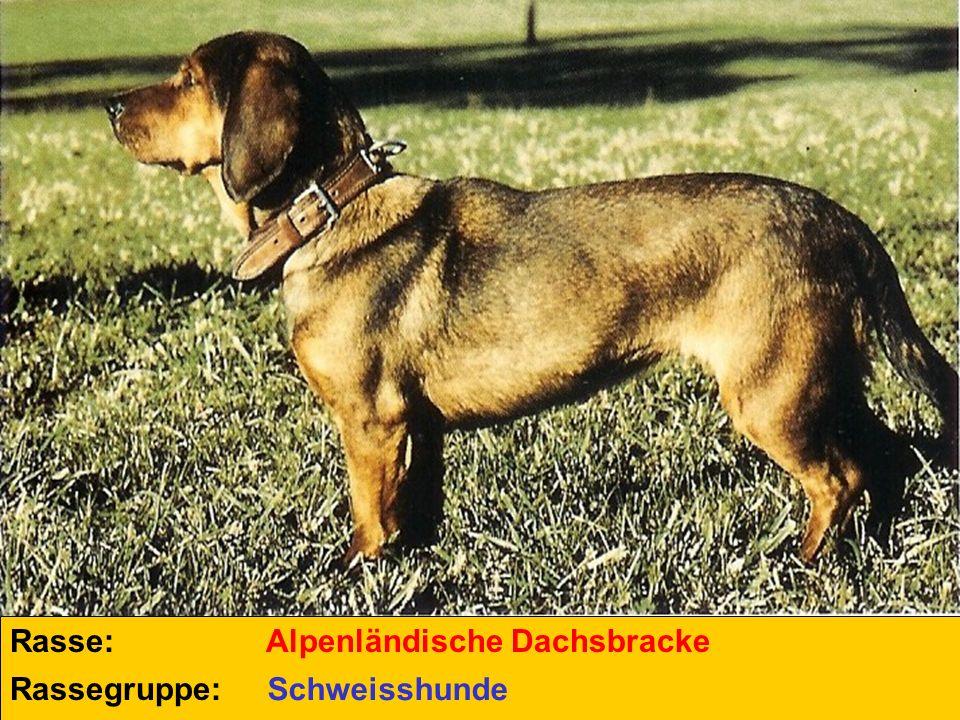Rasse: Rassegruppe: Alpenländische Dachsbracke Schweisshunde