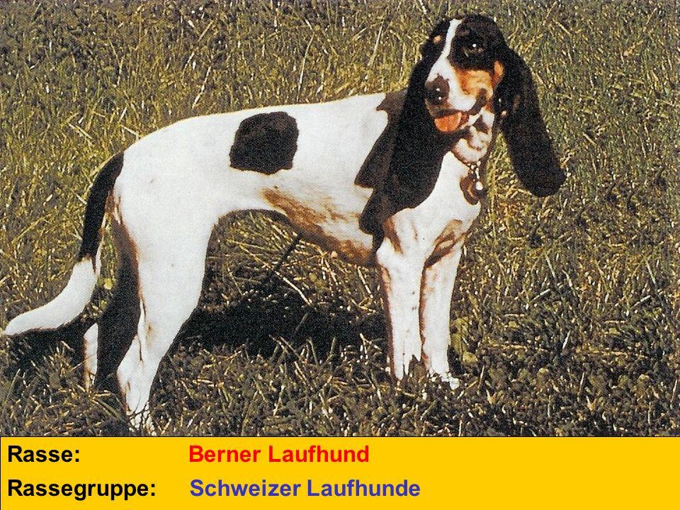 Rasse: Rassegruppe: Berner Laufhund Schweizer Laufhunde