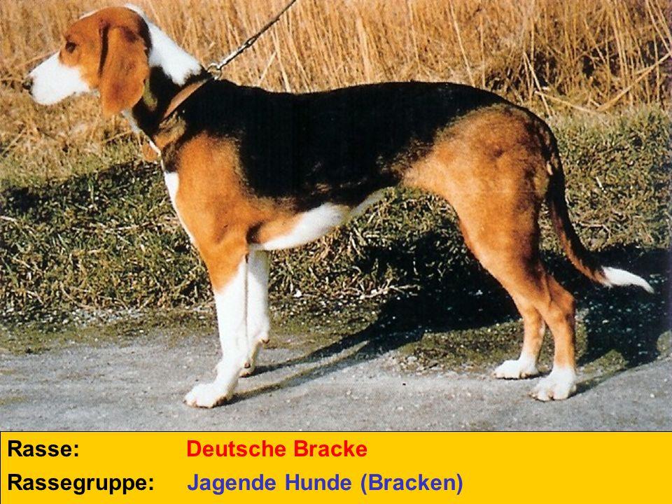 Rasse: Rassegruppe: Jura Laufhund Schweizer Laufhunde