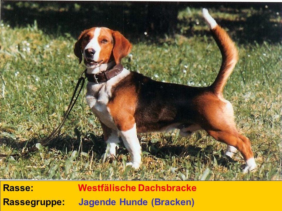 Rasse: Rassegruppe: Westfälische Dachsbracke Jagende Hunde (Bracken)
