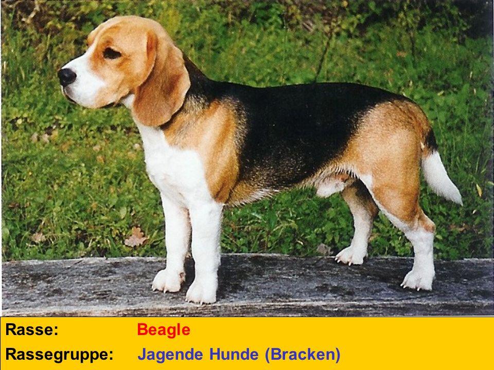 Rasse: Rassegruppe: Beagle Jagende Hunde (Bracken)