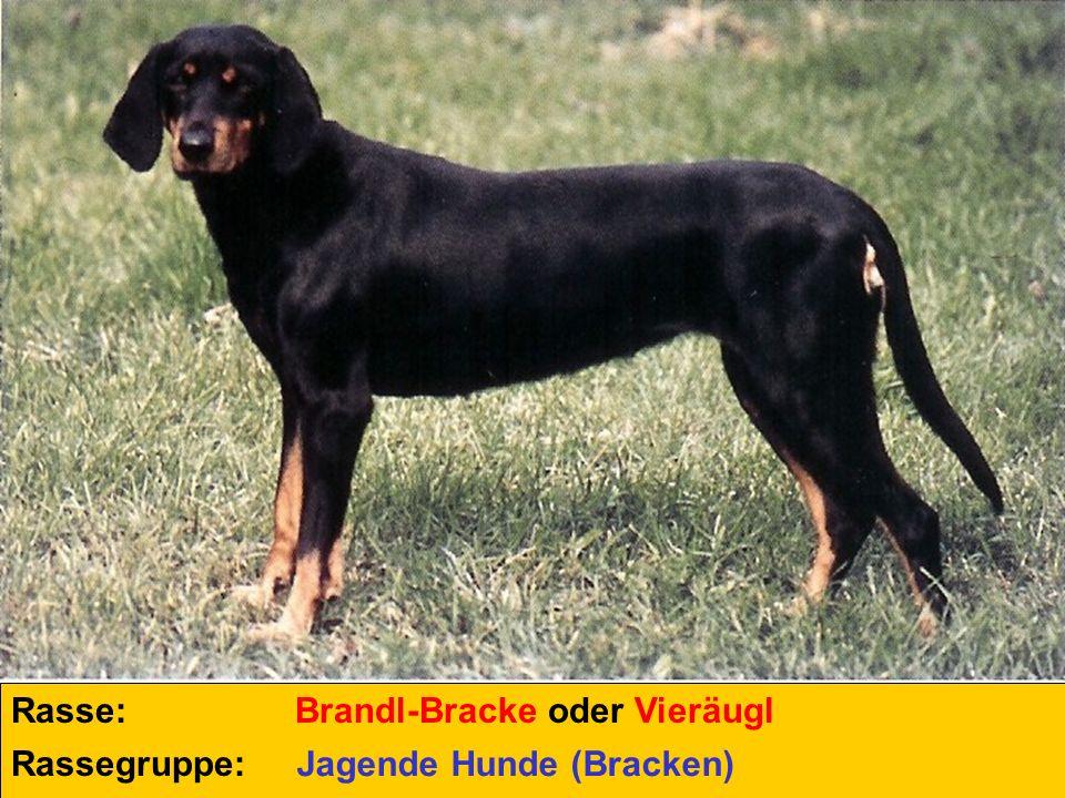 Rasse: Rassegruppe: Brandl-Bracke oder Vieräugl Jagende Hunde (Bracken)