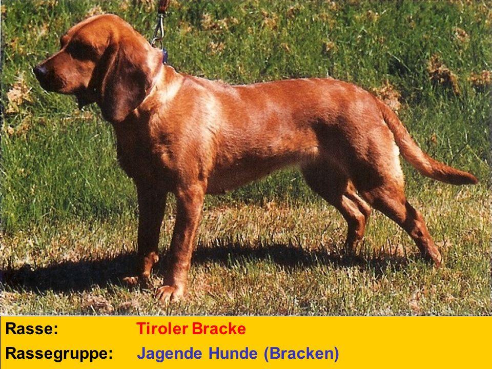 Rasse: Rassegruppe: Steirische Rauhhaarbracke Jagende Hunde (Bracken)