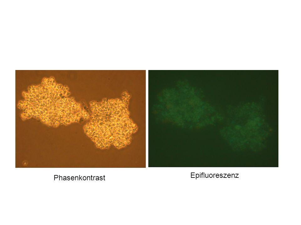 Phasenkontrast Epifluoreszenz