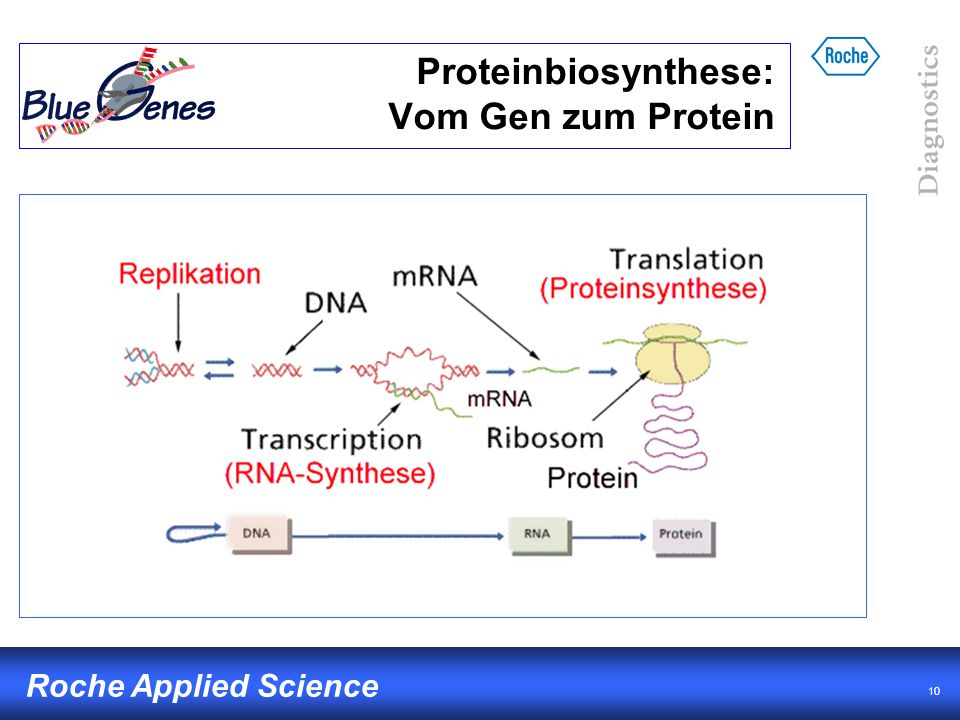 10 Roche Applied Science Proteinbiosynthese: Vom Gen zum Protein
