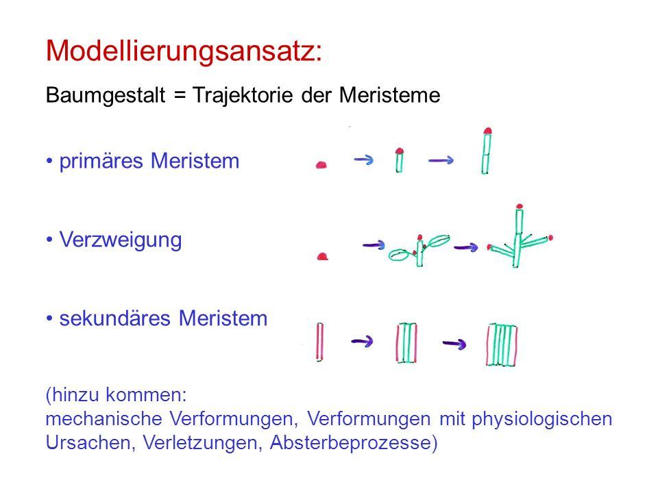 Modellierungsansatz: Baumgestalt = Trajektorie der Meristeme primäres Meristem Verzweigung sekundäres Meristem (hinzu kommen: mechanische Verformungen, Verformungen mit physiologischen Ursachen, Verletzungen, Absterbeprozesse)