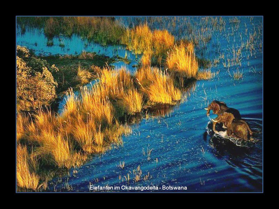 Elefanten im Okavangodelta - Botswana