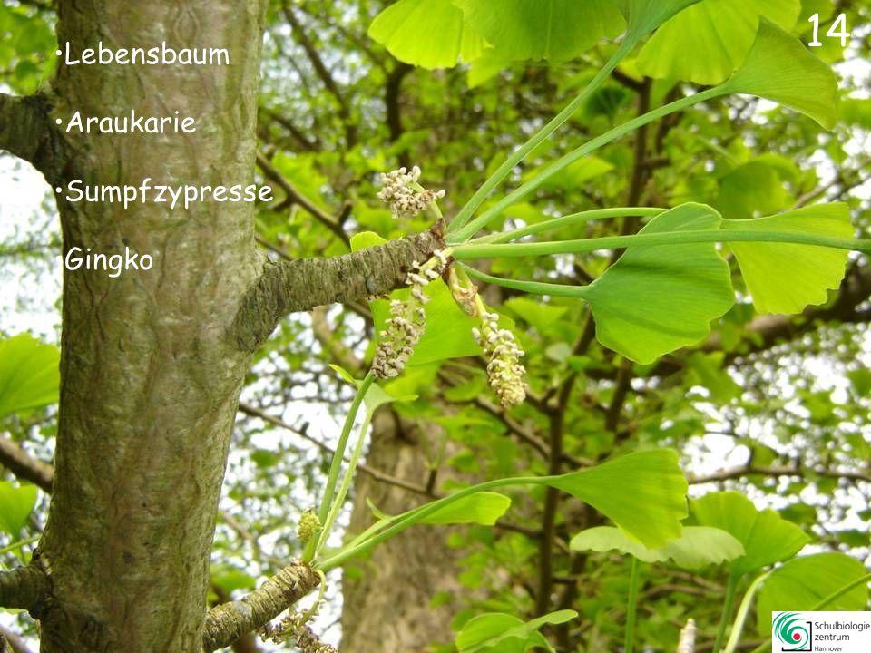Lebensbaum Wacholder Araukarie Fichte 13