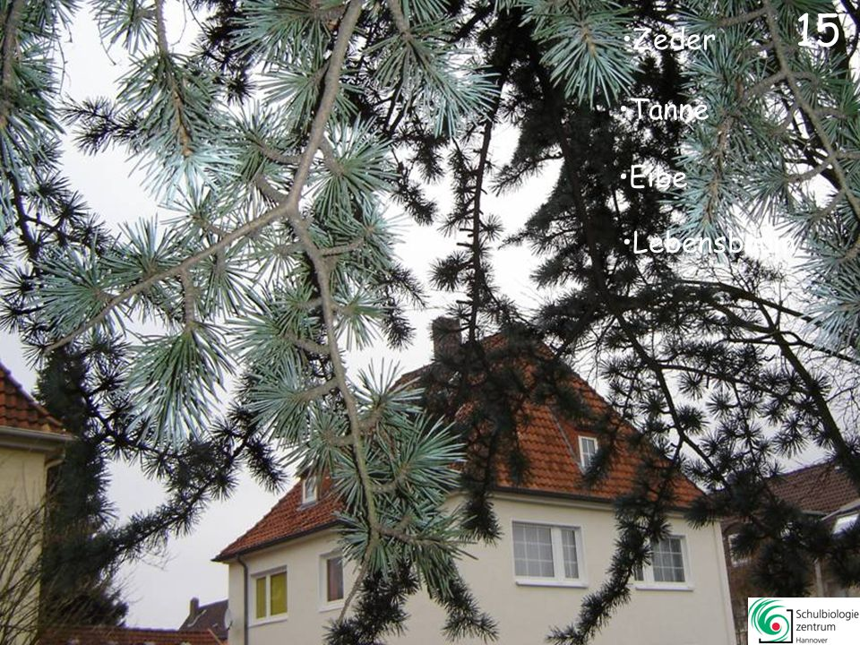 Araukarie Sumpfzypresse Gingko Lebensbaum 14