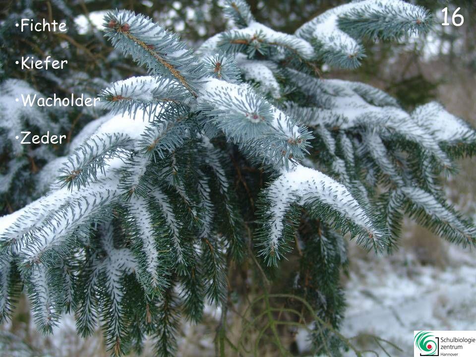 Tanne Eibe Lebensbaum Zeder 15