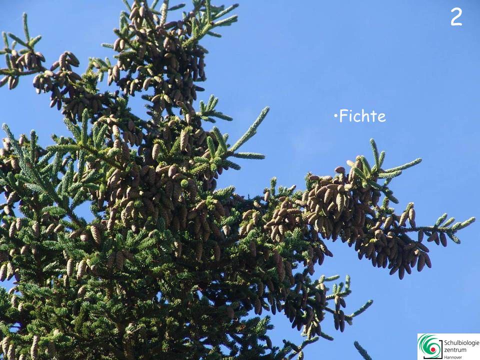 Klicke Dich durch mehr als 60 Bilder von Nadelbäumen - Jeweils drei Lösungen sind falsch - eine ist richtig.