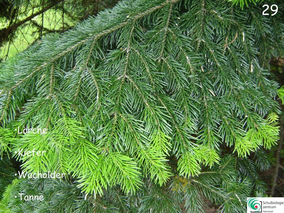 Erle (kein Nadelbaum!) Hemlock Sumpfzypresse Kiefer 28