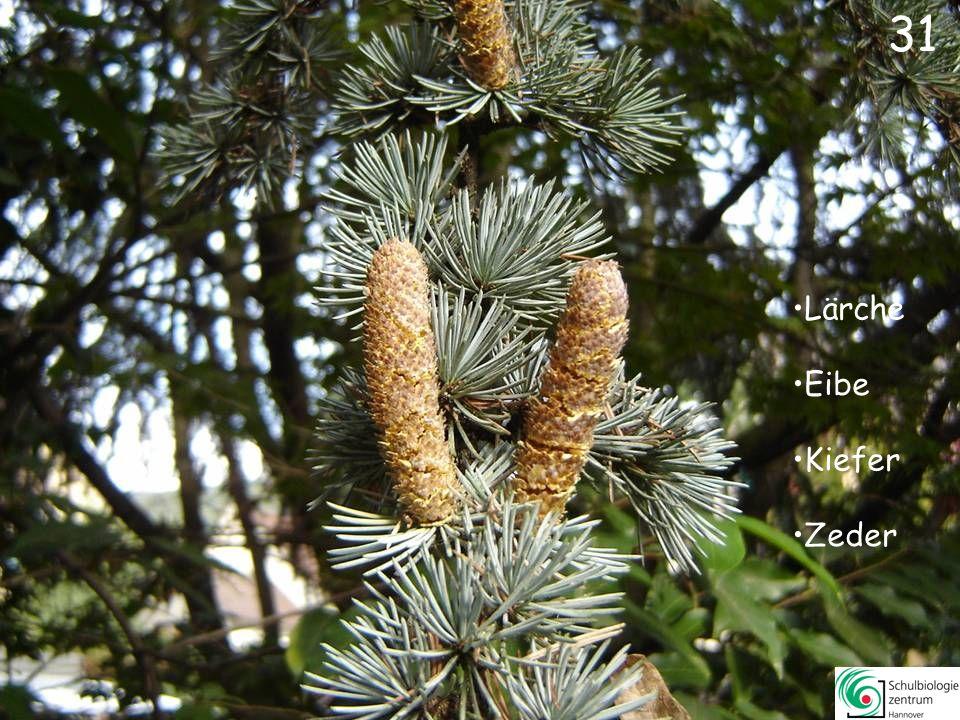 Lebensbaum Gingko Sumpfzypresse Araukarie 30