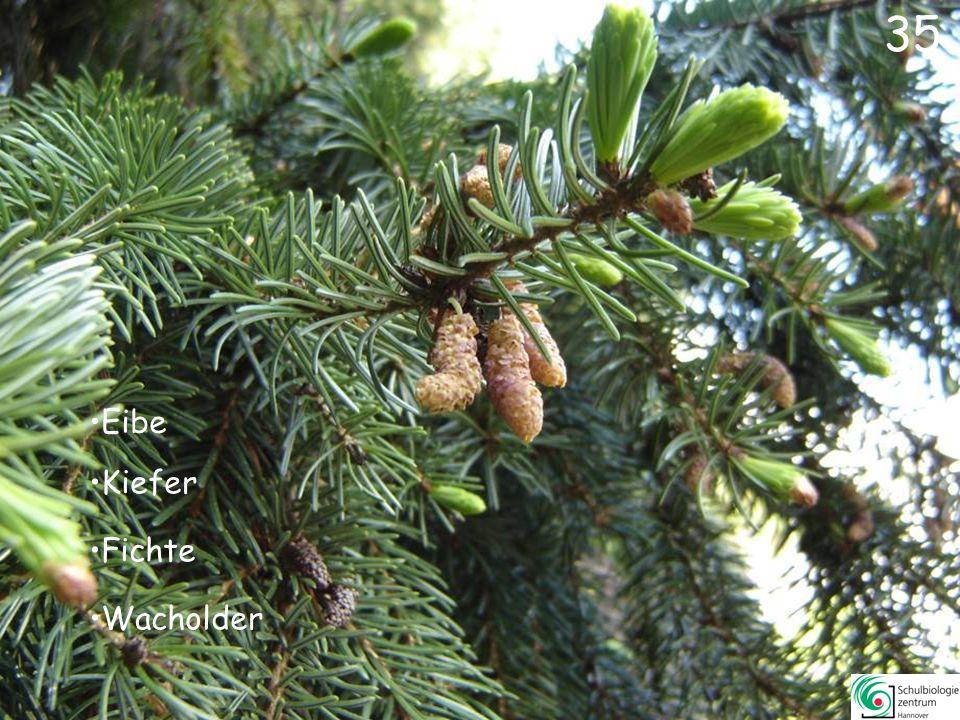 Lärche Urwelt-Mammutbaum Eibe Tanne 34