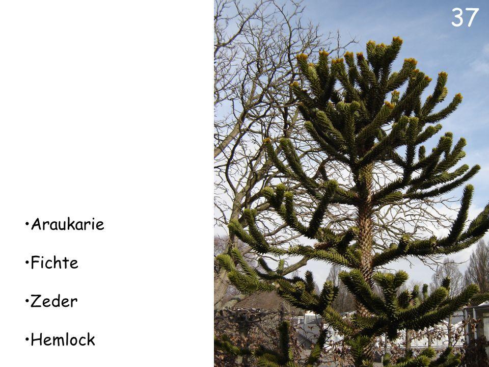 Urwelt-Mammutbaum Mammutbaum Sumpfzypresse Kiefer 36