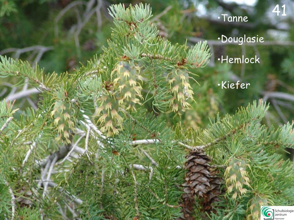 Urwelt-Mammutbaum Zeder Lärche Hemlock 40