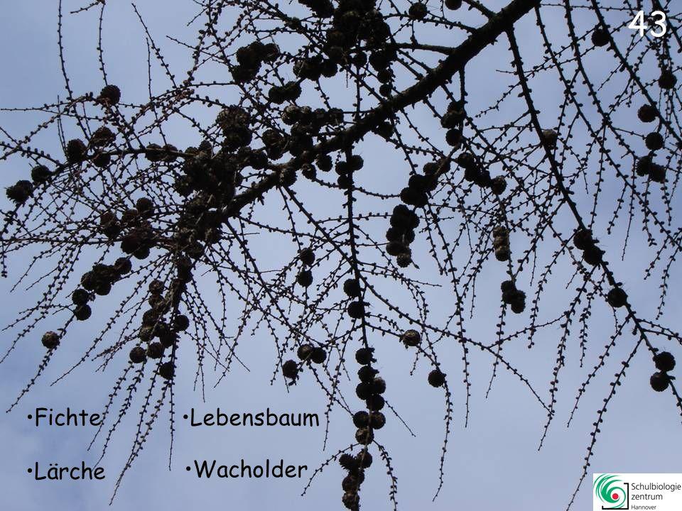 Tanne Fichte Urwelt-Mammutbaum Lärche 42