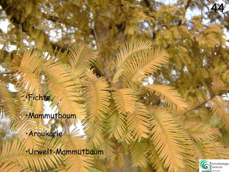 Fichte Lebensbaum Wacholder Lärche 43