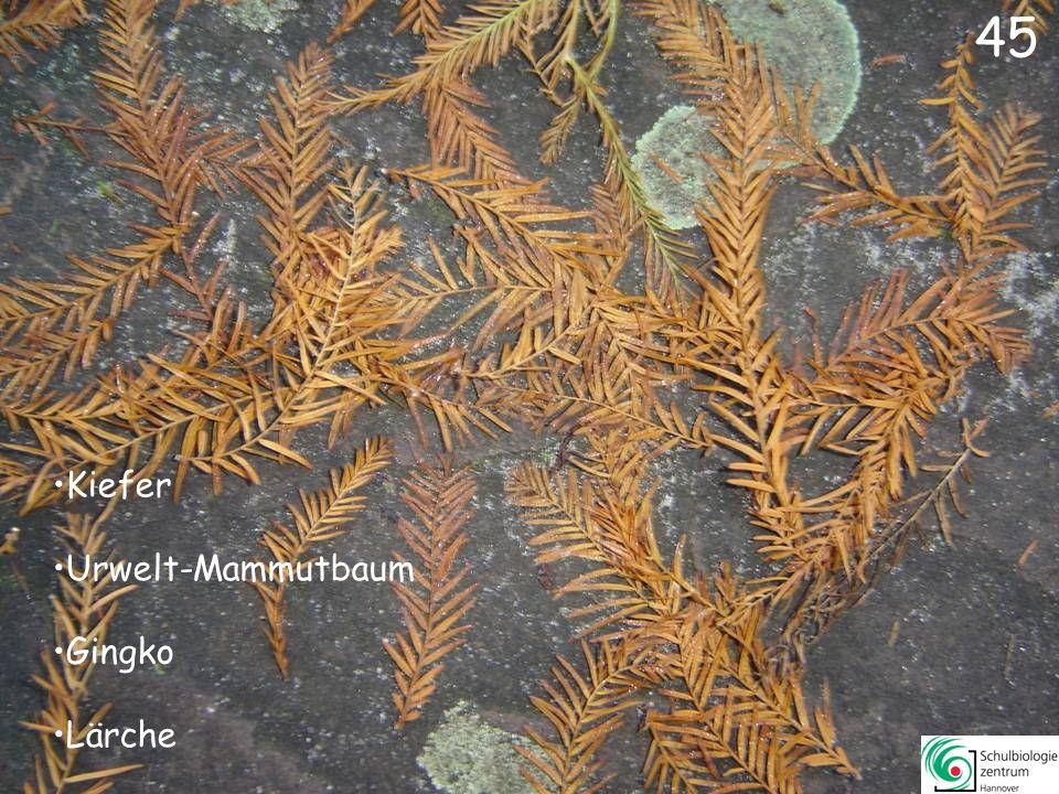 Fichte Mammutbaum Araukarie Urwelt-Mammutbaum 44