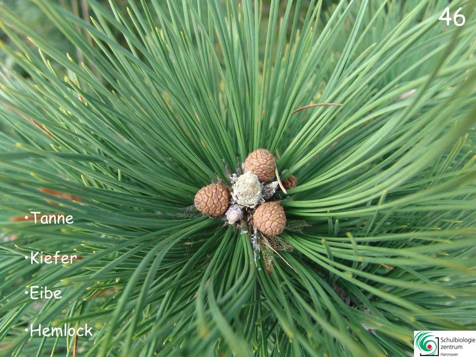 Kiefer Urwelt-Mammutbaum Gingko Lärche 45