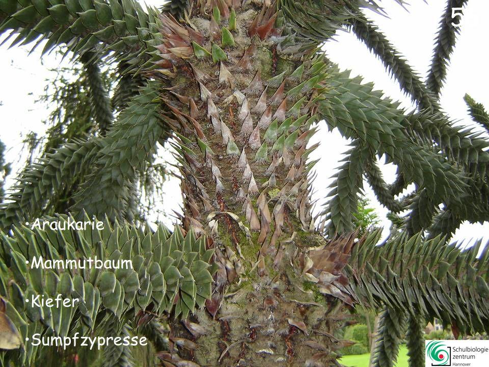 Mammutbaum Douglasie Buche (kein Nadelbaum!) Kiefer 55