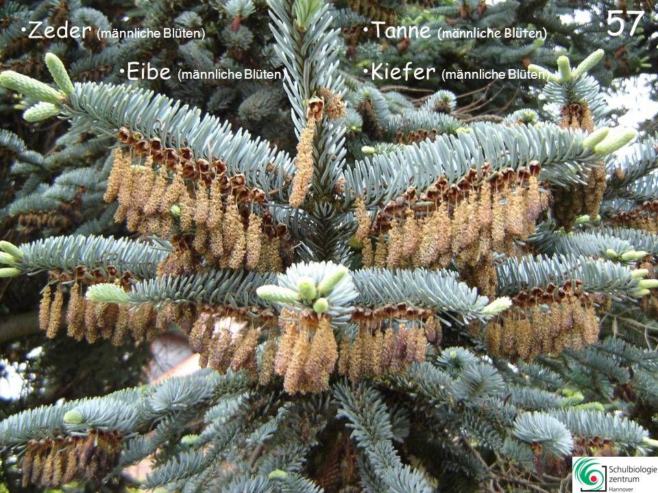 Araukarie Mammutbaum Kiefer Sumpfzypresse 56