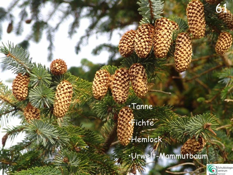 Eibe (Früchte)Eibe (Früchte) Kiefer (weibliche Blüten)Kiefer (weibliche Blüten) Douglasie (Zapfen)Douglasie (Zapfen) Fichte (männliche Blüten)Fichte (männliche Blüten) 60