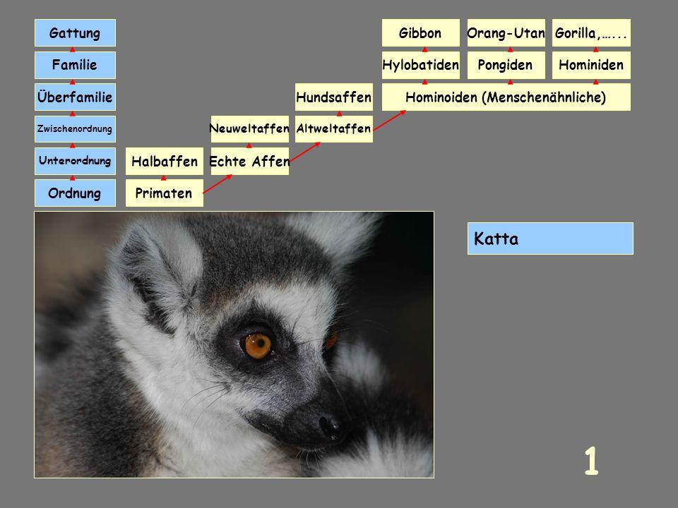Primaten und ihre Systematik Klick dich durch 30 Primatenarten und lerne ihre Systematik kennen. Klickst du den richtigen Affennamen an, kommst du ein