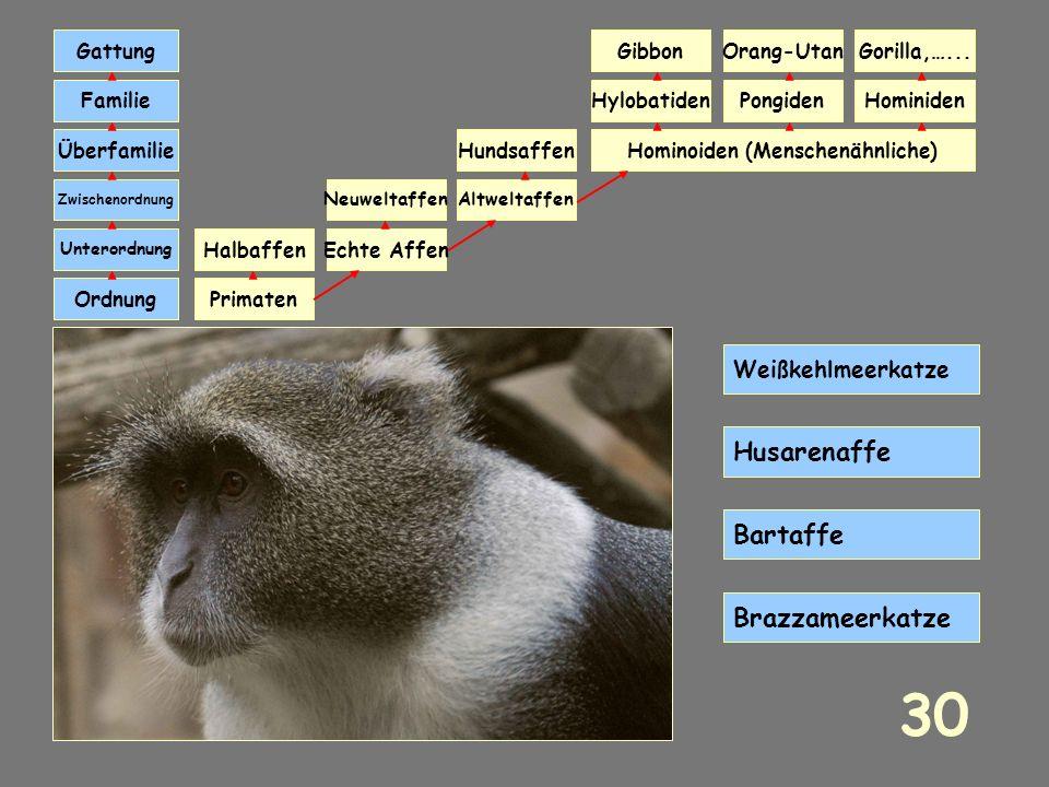 Primaten Echte Affen Neuweltaffen HundsaffenHominoiden (Menschenähnliche) Ordnung Unterordnung Zwischenordnung Überfamilie Familie Gattung HominidenPo