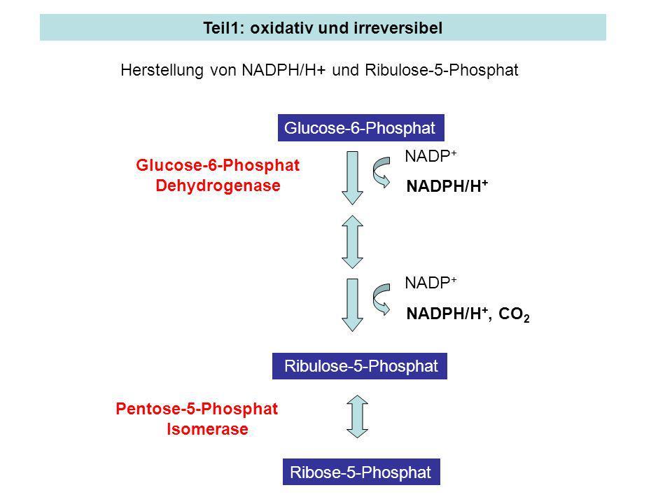 Teil1: oxidativ und irreversibel Glucose-6-Phosphat Ribulose-5-Phosphat Ribose-5-Phosphat NADPH/H + NADP + NADPH/H +, CO 2 NADP + Glucose-6-Phosphat D