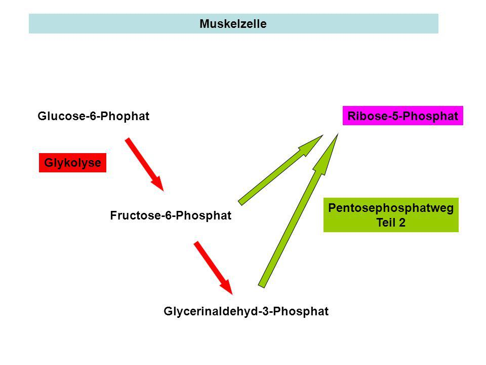 Glucose-6-PhophatRibose-5-Phosphat Glycerinaldehyd-3-Phosphat Fructose-6-Phosphat Glykolyse Pentosephosphatweg Teil 2 Muskelzelle
