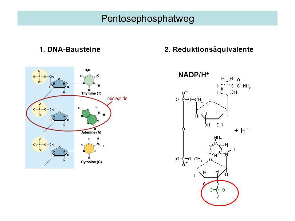 1) Biosynthesen Leber: Cholesterin Fettgewebe und laktierende Milchdrüse: Fettsäuren (Lipidsynthese) Nebennieren, Hoden, Ovar: Steroidhormone Bedeutung von NADPH/H+ 2) Schutz vor reaktiven Sauerstoffverbindungen Regeneration des Glutathion-Disulfids 3) Entgiftung Cytochrom P-450