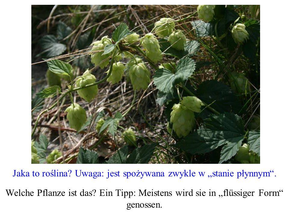 Jaka to roślina? Uwaga: jest spożywana zwykle w stanie płynnym. Welche Pflanze ist das? Ein Tipp: Meistens wird sie in flüssiger Form genossen.