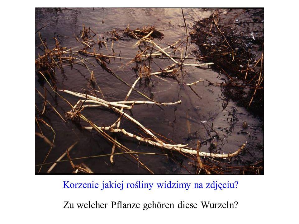 Korzenie jakiej rośliny widzimy na zdjęciu? Zu welcher Pflanze gehören diese Wurzeln?