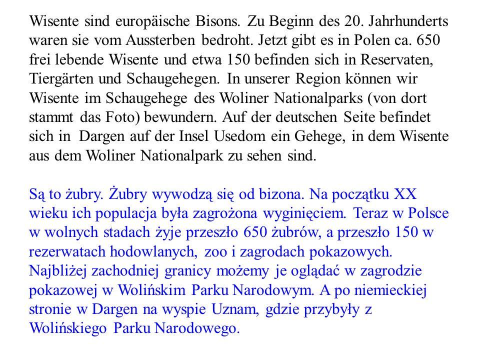 Wisente sind europäische Bisons. Zu Beginn des 20. Jahrhunderts waren sie vom Aussterben bedroht. Jetzt gibt es in Polen ca. 650 frei lebende Wisente