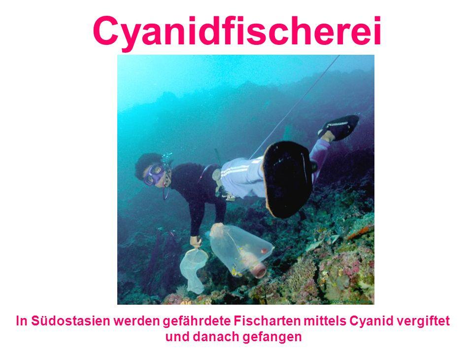 Cyanidfischerei In Südostasien werden gefährdete Fischarten mittels Cyanid vergiftet und danach gefangen