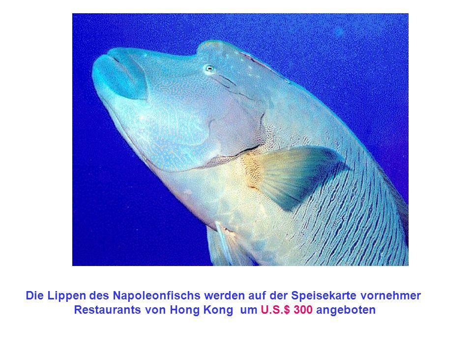 Die Lippen des Napoleonfischs werden auf der Speisekarte vornehmer Restaurants von Hong Kong um U.S.$ 300 angeboten